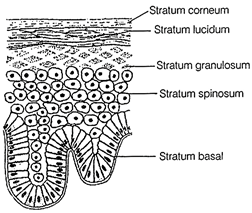 stratified columnar epithelium diagram gm headlight wiring free ncert solutions for 9th class science tissues studyadda com v glandular epithelial tissue often acquire additional specialization as gland cells which can secrete substances at the