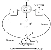 question_answer 23) The diagram below shows ATP synthesis