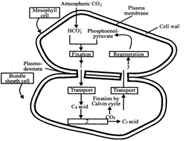 Question Bank for NEET Biology Photosynthesis in Higher