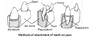 Succession of teeth : According to their replacement