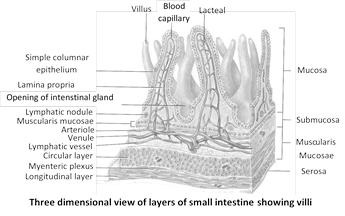 (4) Glands of small intestine : Various glands found in