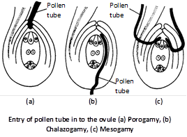 (i) Porogamy : When the pollen tube enters the ovule