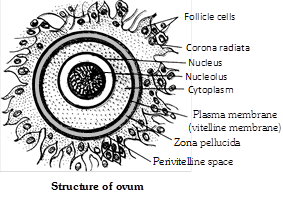 Human ovum is microlecithal with large amount of cytoplasm