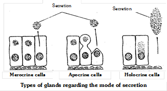 Classification of glands on the basis of nature of product
