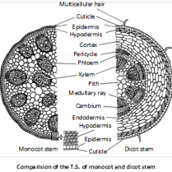 Dicot Root Diagram Plot For Bridge To Terabithia Jee Main Advanced Cbse Neet Iit Free Study Packages Test Difference Between And Monocot