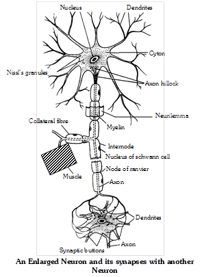 Types of neurons : Neurons are divided into different