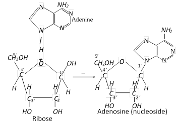 A nucleotide results when the nucleoside combined with