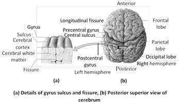 Associated structures of cerebrum : Cerebrum has following