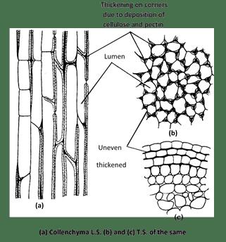 Types of collenchyma : Majumdar (1941) divided collenchyma