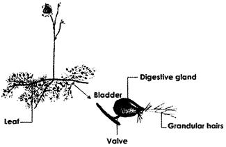 Look at the following picture of bladderwort (A