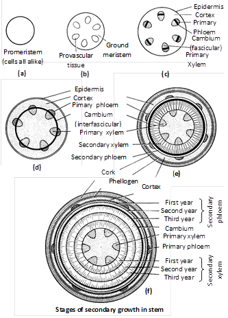 The fusiform initials : Which are elongated and form