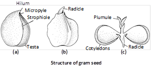 Endospermic or Albuminous seed : In albuminous seeds