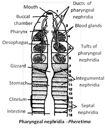(ii) Integumentary nephridia are scattered in the body