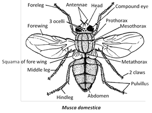 (4) Thorax is three segmented with three pair of legs, one