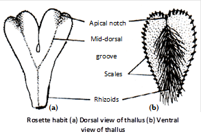 Internal structure : The thallus is internally