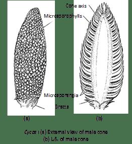 11th Class Biology Kingdom Plantae Some Representative