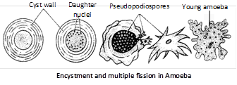 Pseudopodia : These are found in those forms which do not