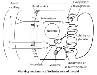 Hormones of thyroid