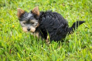 Dog pooping in grass