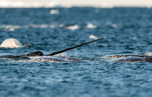 Pod of narwhals feeding at the surface, Lancaster Sound, Baffin Island, Canada.