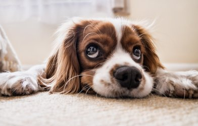 Sad, adorable dog: Cocker spaniel showing puppy dog eyes