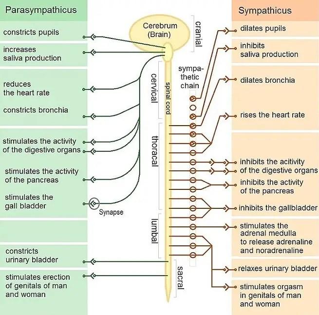 Sympathetic vs parasympathetic System Difference