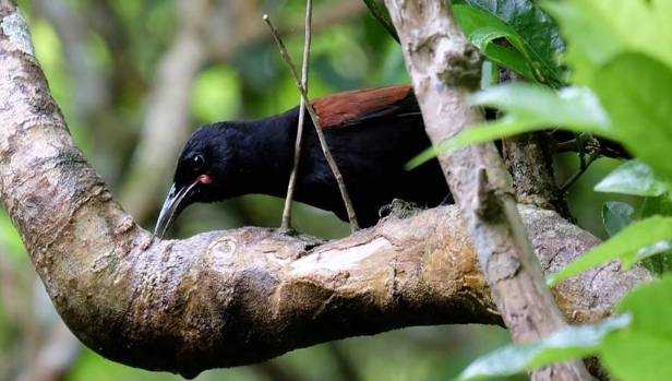 The juvenile saddleback, with a young bird's distinct markings, was photographed in Polhill Reserve this month.