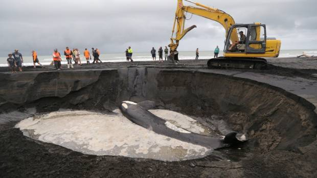 An orca whale stranded on Patea Beach on Sunday died overnight and was buried on the beach. It was blessed before being ...