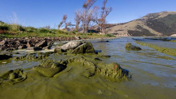 Lake Forsyth on the Banks Peninsula is green with toxic slime.