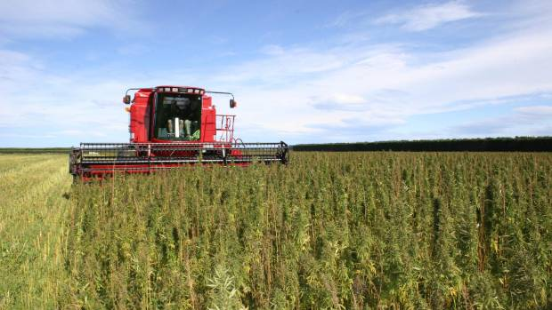 If current restrictions are relaxed, hemp could become a viable alternative for some farmers.