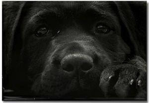 Black Labrador dog Magnet