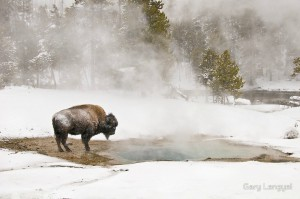 Bison In Yellowstone National Park Poster