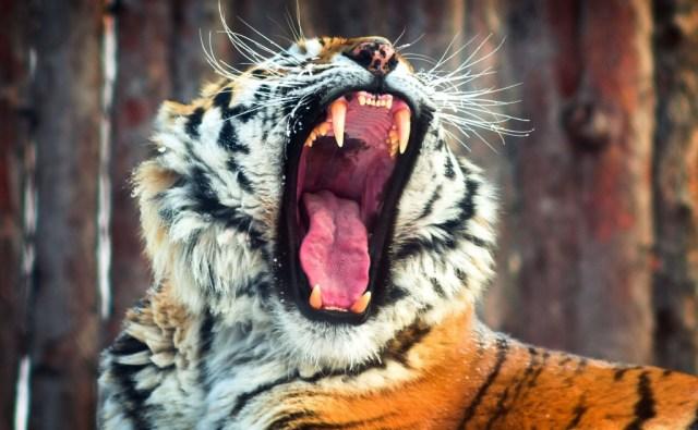 tiger-wallpapers-stugon.com (5)