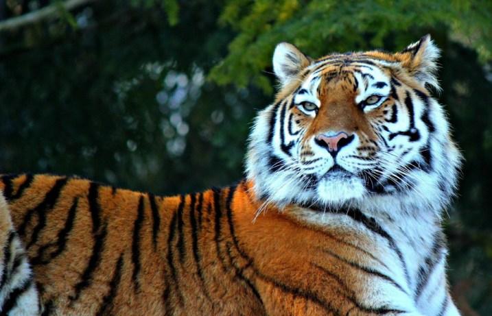 tiger-wallpapers-stugon.com (8)