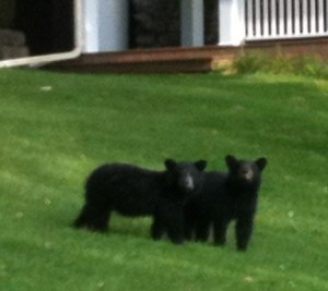 Cubs playing on the lawn