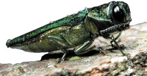 Image of the Emeral Ash Borer
