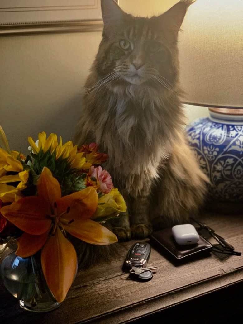 ollie maine coon cat