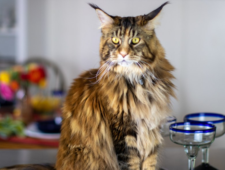 ollie the maine coon cat