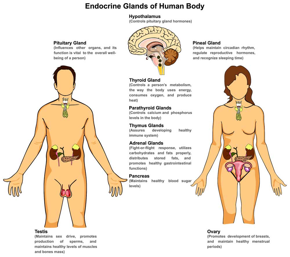 The Anatomy Of Endocrine System Mystery - Style News & Trends