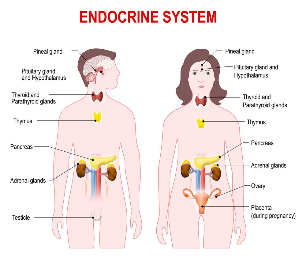 The anatomy of endocrine system mystery style news trends endocrine system ccuart Choice Image