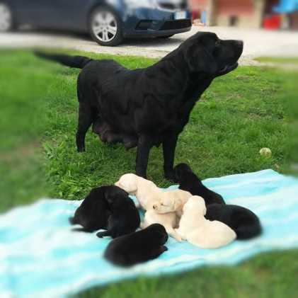 cuccioli neri labrador