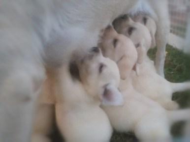 cuccioli biondi di labrador stylelabrador1