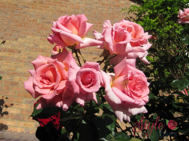 Compassion Climbing Rose Style Roses