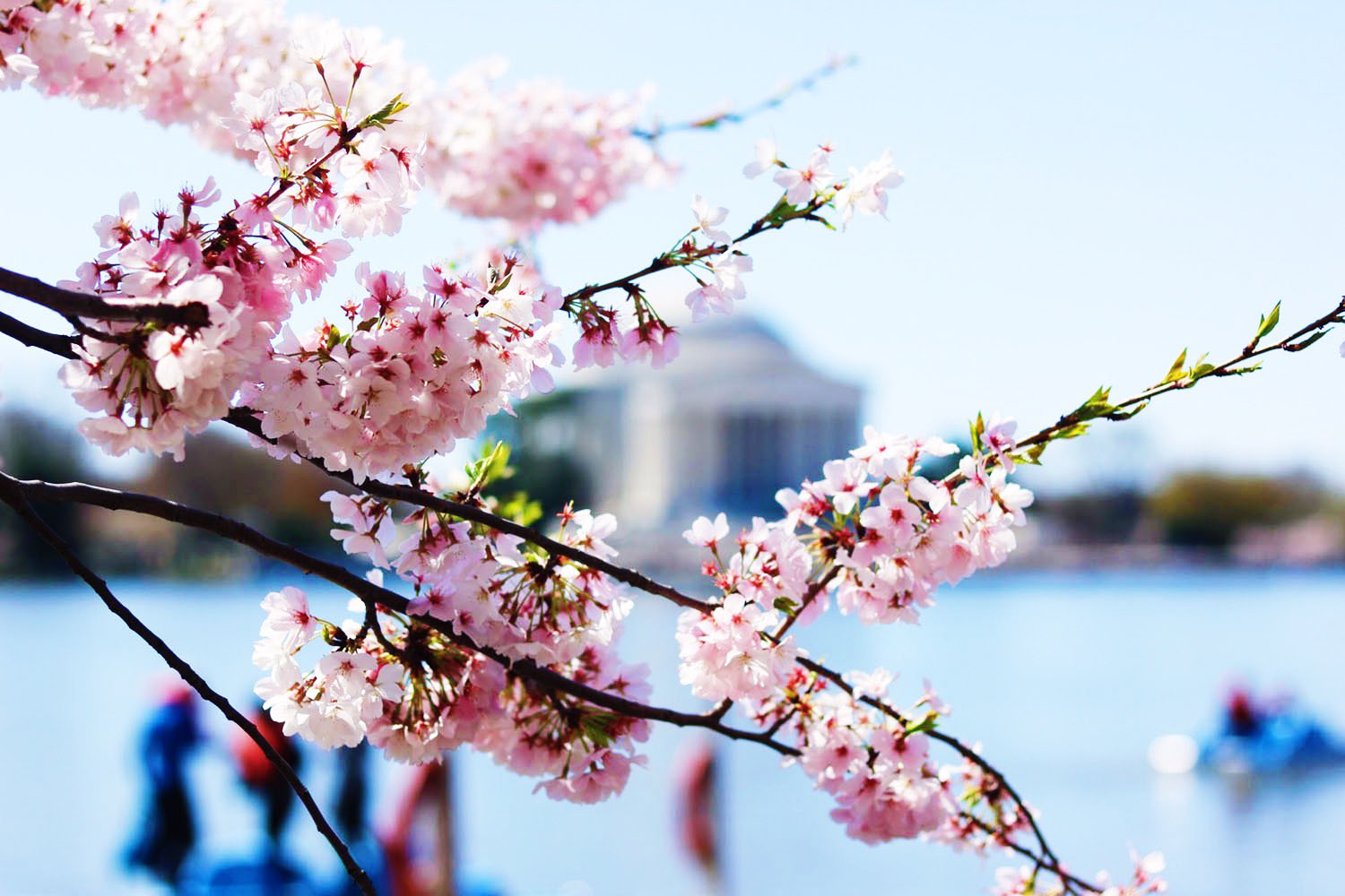 style-synopsis-cherry-blossoms