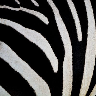 Zebra stripes [Image courtesy of panuruangjan at FreeDigitalPhotos.net]