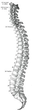 Neutral ryggrad