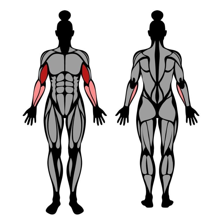 Muskler som tränas av övningen skivstångscurl