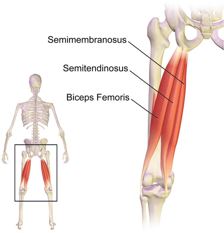 Hamstrings anatomi. En muskel på baksida lår, som tränas bland annat av övningen lårcurl.
