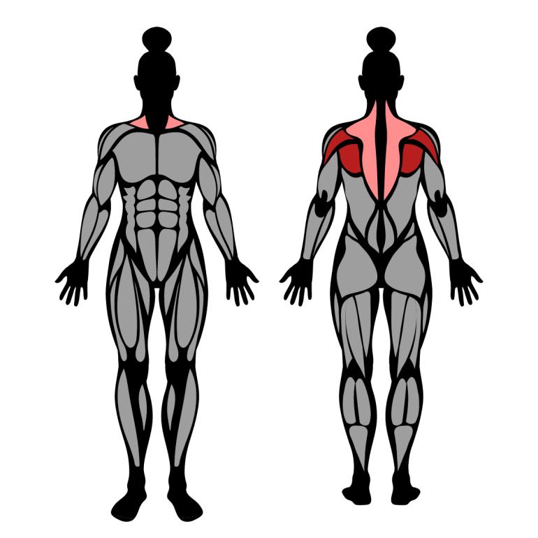 Muskler som tränas av isärdrag med band