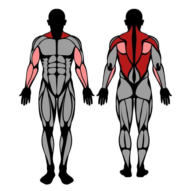 Muskler som tränas av maskinrodd